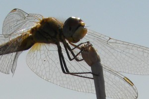 dragon fly wings kill bacteria